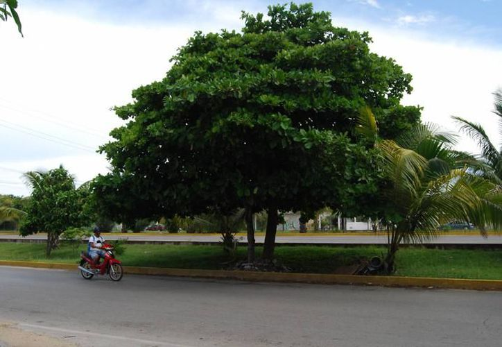Los framboyanes, los ficus y los álamos, son los árboles que más reportan en la ciudad para realizar las talas. (Foto: Redacción/SIPSE)