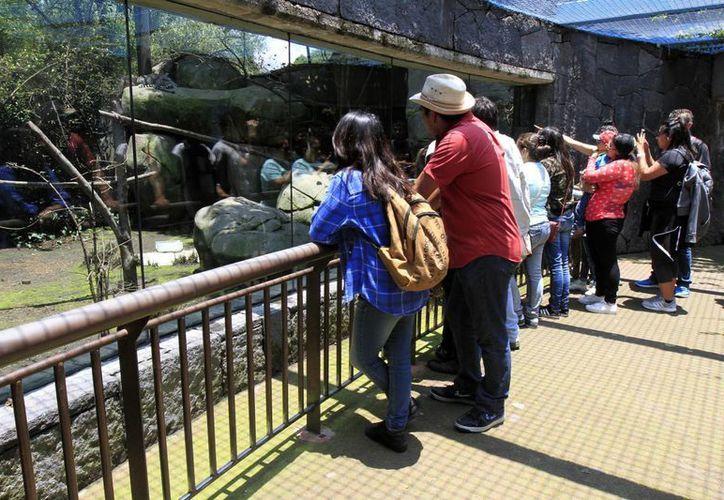 La muerte de una leona por eutanasia ha despertado una nueva polémica contra los zoológicos de la capital mexicana. (Notimex)