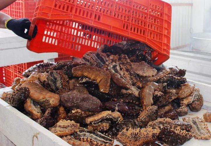 El conductor, que viajaba con dos personas más, llevaban en una camioneta 83 kilogramos 300 gramos de pepino de mar, especie en veda. (Imagen de contexto/Milenio Novedades)