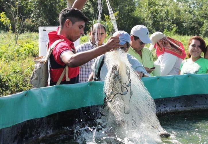 Los productores han logrado comercializar hasta 70 toneladas de la especie en un año, lo cual se puede incrementar a 90 en el actual, gracias a que han encontrado gran aceptación del sector turístico. (Edgardo Rodríguez/SIPSE)