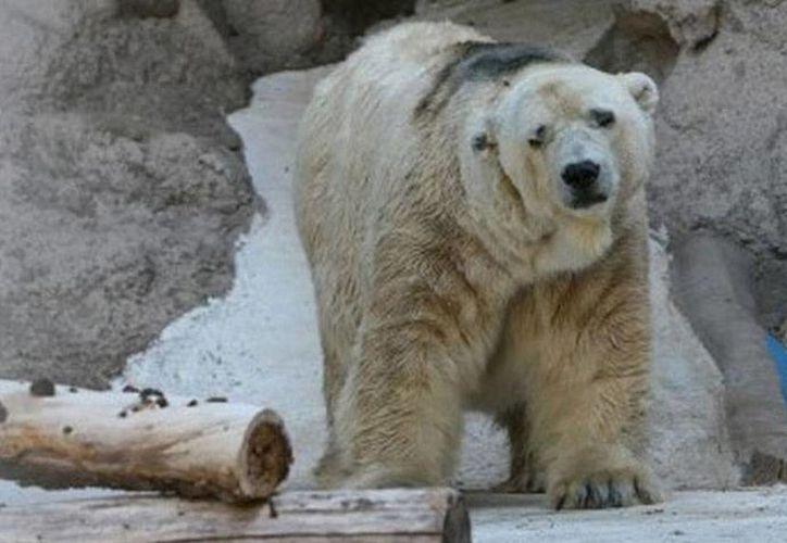 Esta imagen habla por el oso <i>Arturo</i> que no puede expresar sino con un rostro lánguido su malestar. En change.org se han recolectado 300 mil firmas para que sea trasladado a Canadá. (m24digital.com)