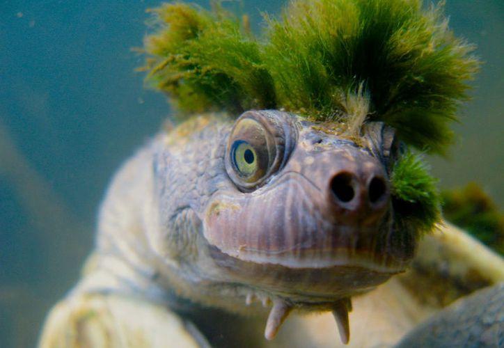 La tortuga 'punk' solo se encuentra en el río en Queensland, Australia. (Foto: Internet)