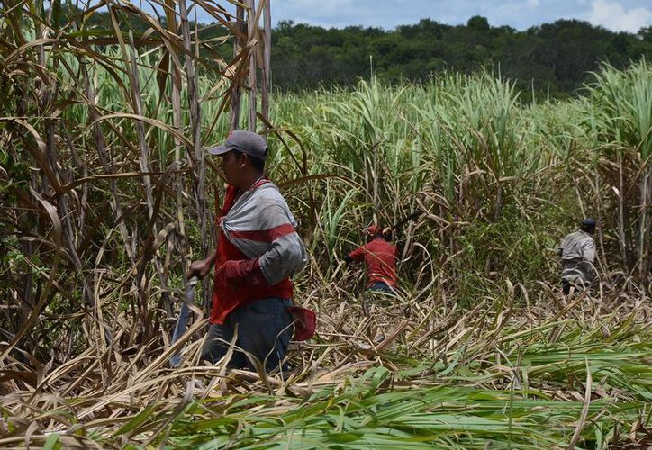 Para la presente zafra, se tiene como meta un millón 500 mil toneladas de vara dulce. (Carlos Castillo/SIPSE)