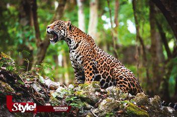 ¡Salven al jaguar!