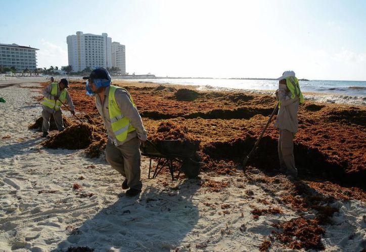 La llegada del sargazo de forma atípica ha afectado a las costas de Quintana Roo. (Victoria González/SIPSE)
