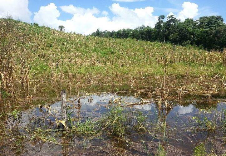 Al cierre del 2015 se perdieron más de 33 mil hectáreas de maíz. (Edgardo Rodríguez/SIPSE)