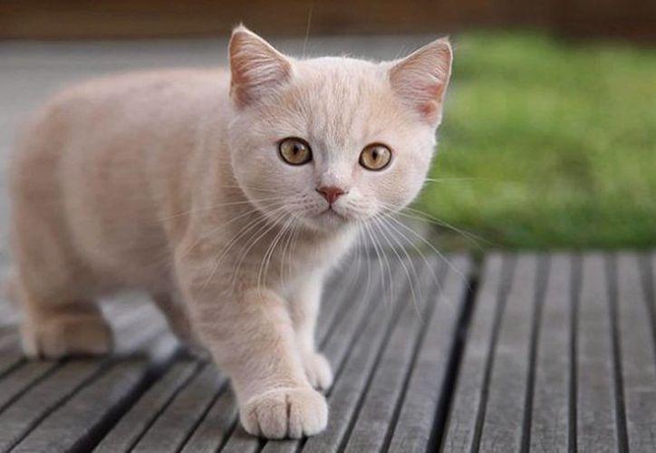 Un gato con el peso correcto puede alcanzar una velocidad de 48 kilómetros por hora. (Contexto/Internet)