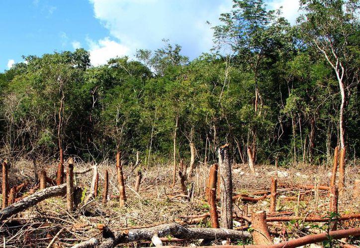 La Conafor busca contrarrestar los efectos de la deforestación. (Milenio Novedades)