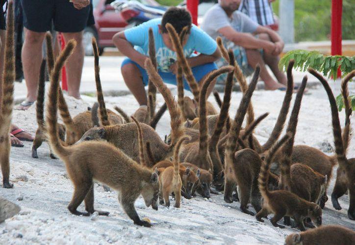 El coatí enano está incluido en la Lista Roja de Especies Amenazadas de Unión Internacional para la Conservación de la Naturaleza. (Gustavo Villegas/SIPSE)
