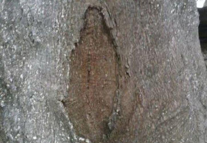 """""""Aparición"""" de la """"Virgen de Guadalupe"""" en un árbol de la comisaría umanense de Oxcum hace unos días. (Jorge Moreno/SIPSE)"""