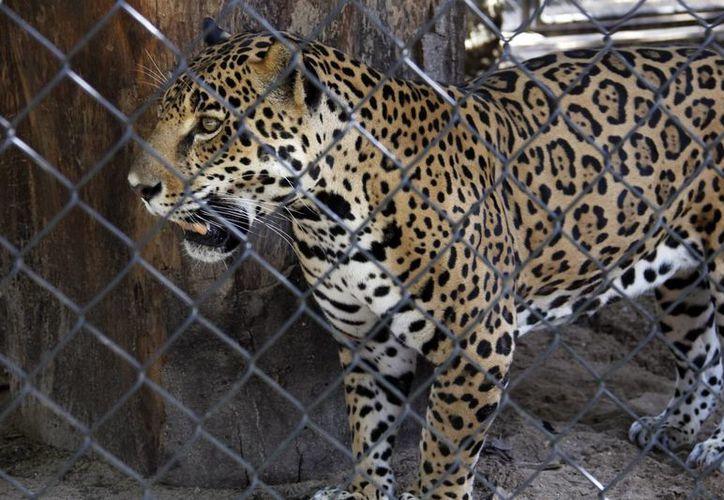 Jorge Emilio González Martínez argumenta que se ha puesto en peligro la integridad física de los animales hasta desenlaces fatales. (Archivo Sipse)
