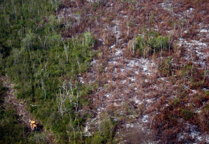 Se pierden hasta 50 mil hectáreas de selva por año en la entidad. (Israel Leal/SIPSE)
