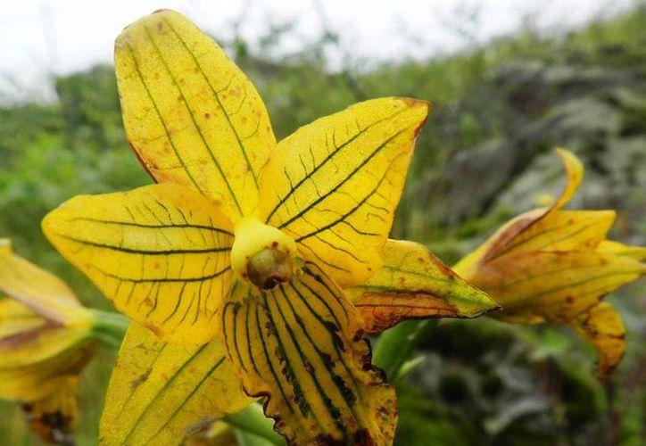 Imagen cedida por el Serfor de Perú de la orquídea de Lima. (EFE)