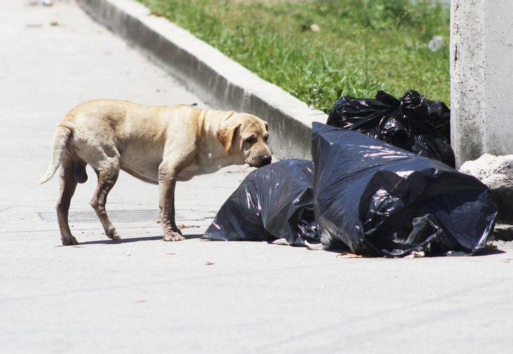 Las campañas de esterilización y adopción de animales callejeros ha favorecido a que menos canes deambulen por Cancún. (Foto: Ivette Y Cos/SIPSE)