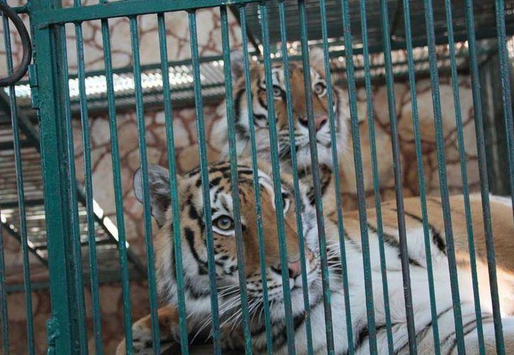 Había 15 tigres entre los animales rescatados del 'El Club de los Animalitos' de Tehuacán, Puebla. (Facebook/Profepa)