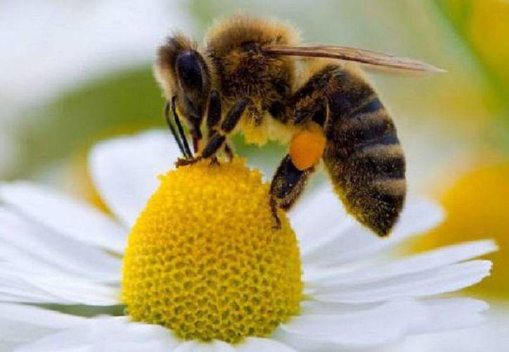 Las abejas junto con otras polinizadoras, son las responsables de alimentos sanos. (Foto: El País)