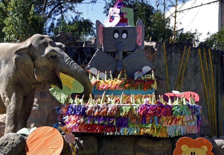 Trompita es una elefanta asiática (Elephas Maximus) rescatada por el zoológico La Aurora de un circo en el 2008. (Foto: AFP)