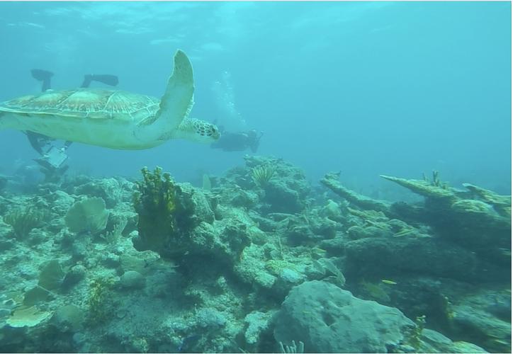 La enfermedad denominada mancha blanca está afectando a diversas colonias de corales en el estado. (Redacción/SIPSE)