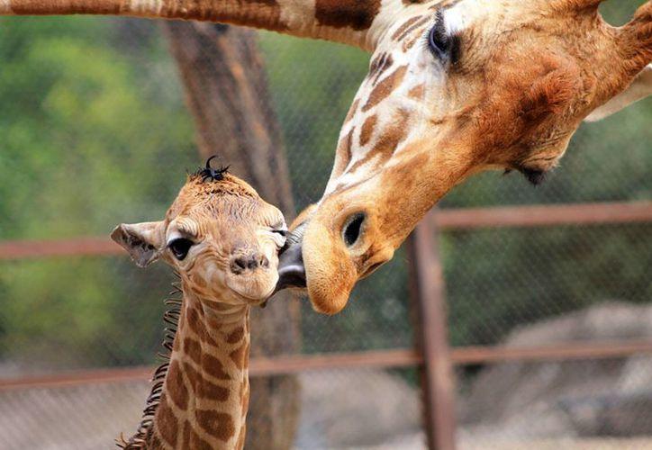 Una jirafa macho nació en el Zoológico de Chapultepec, el crecimiento y desarrollo de la cría avanzan con normalidad y goza de excelente estado de salud, el nombre de la cría podrá ser elegido a través de una votación en la página web de la Sedema. (Notimex)