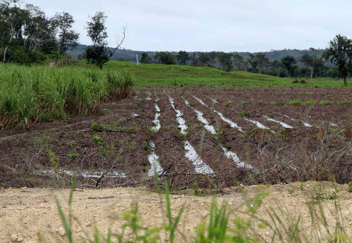 La soya transgénica causa el impacto al medio ambiente, una fuerte deforestación y contaminación del manto freático. (Redacción/SIPSE)