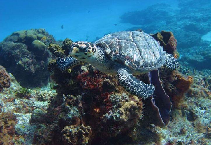 De las siete especies de tortugas que habitan los mares del mundo, dos anidan cada año en Cozumel. (Redacción)
