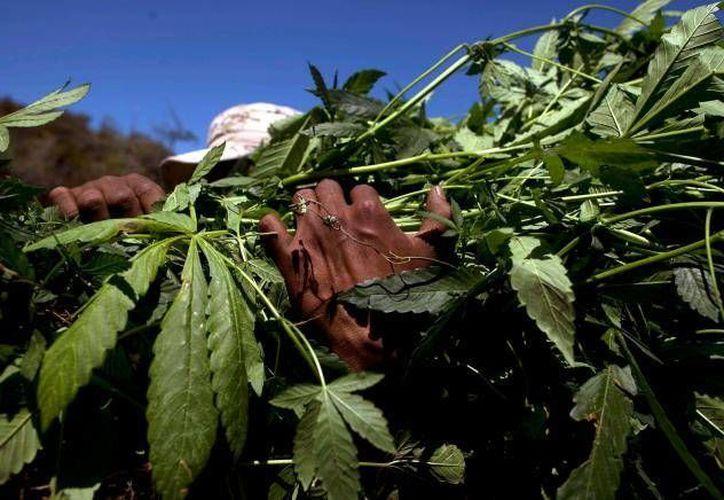 Al decomiso de marihuana de este fin de semana se suma el registrado hace una semana en La Jolla. (Archivo)