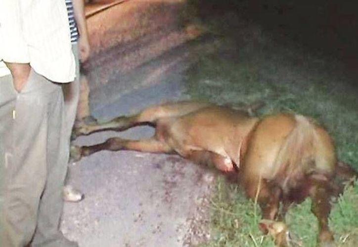 El caballo murió en el lugar de los hechos. (SIPSE)