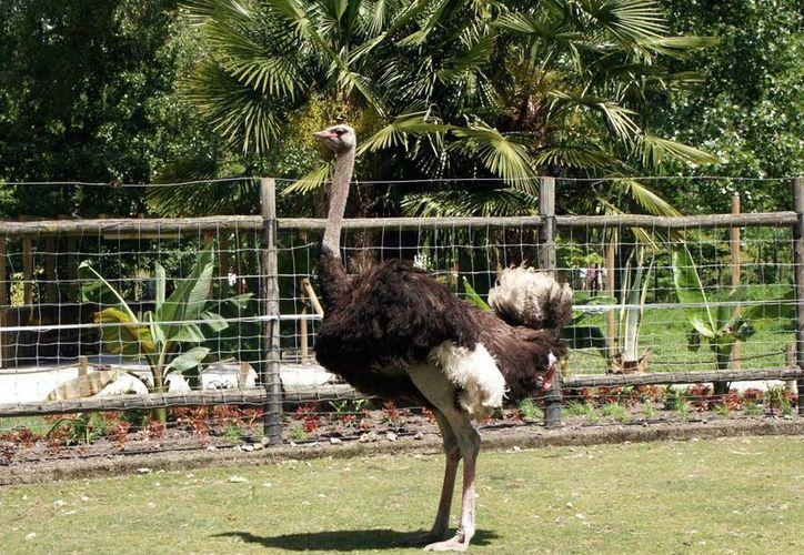 La producción de avestruz no resultó en Yucatán y tuvo que trasladarse al estado de Quintana Roo, donde es la carne del ave es muy solicitada. (mexicampo.com.mx)