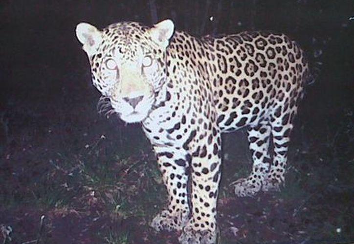 """La exposición """"Balamo´ob"""" consiste en una muestra de fotografías de jaguares captadas en las selvas del nororiente de Yucatán. (Milenio Novedades)"""