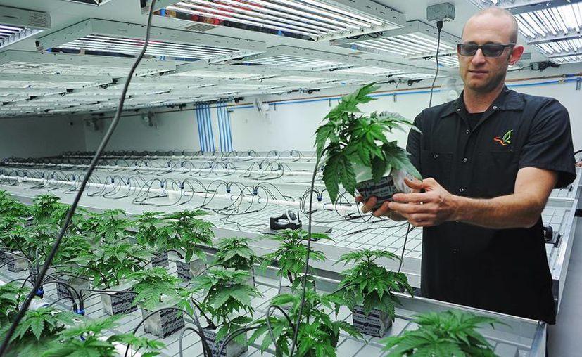 Imagen de un hombre que cultiva marihuana en EU. Los afectados por la sobredosis aseguran que simplemente se sentían 'diferentes'. (Joe Ahlquist/Argus Leader via AP)