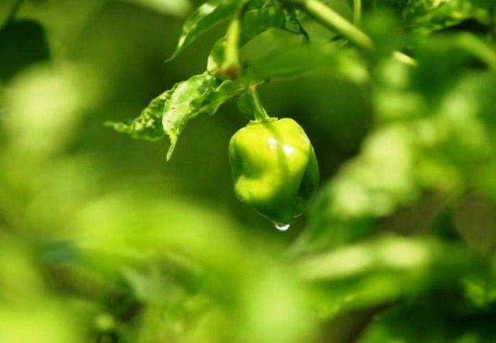 Esta es una buena temporada para la producción del chile. (Edgardo Rodríguez/SIPSE)
