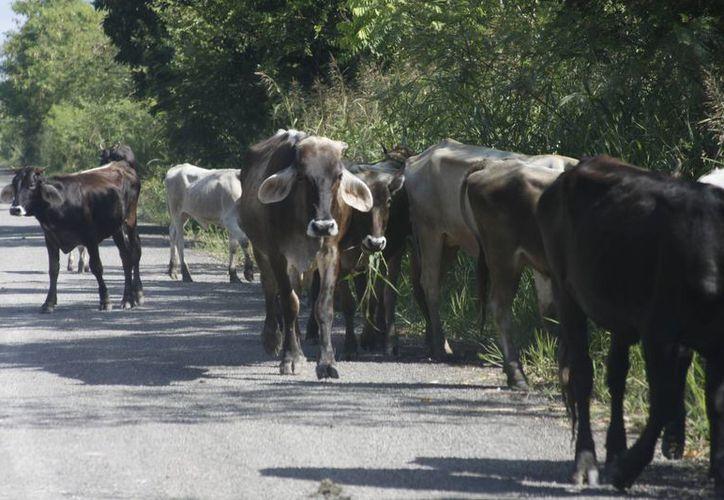 Alrededor de 280 cabezas de ganado podrían ser sacrificadas. (Harold Alcocer/SIPSE)