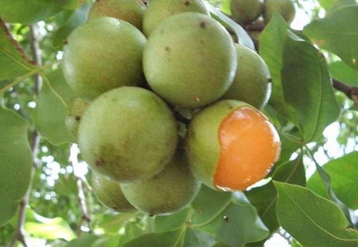 Cada año ingresan al hospital menores de edad por asfixia al ingerir accidentalmente las pepitas del fruto. (SIPSE/Archivo)