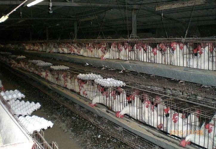 Yucatán es uno de los principales productores de aves del país. (Milenio Novedades)