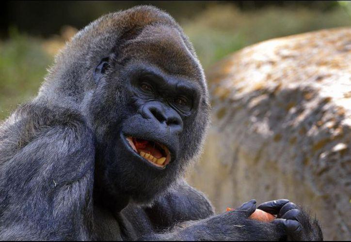 La gorila apareció en muchos documentales y dos veces en la portada de la revista National Geographic. (Informador)