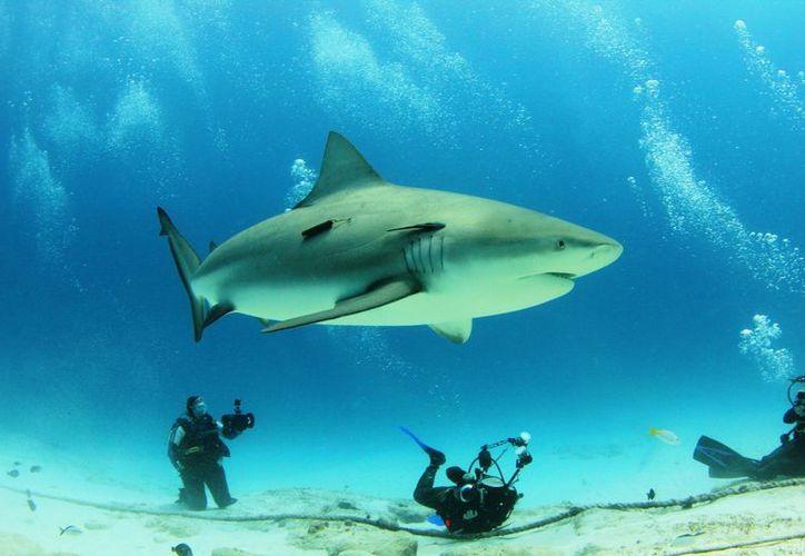 El avistamiento del tiburón toro se ha convertido en una subindustria para el turismo de buceo. (Adrián Barreto/SIPSE)