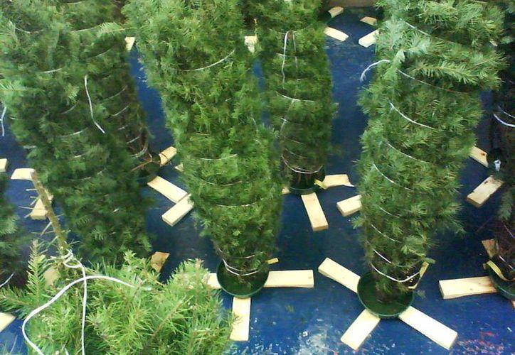 La Profepa vigila constantemente el arribo de los pinos navideños. (Agencias)