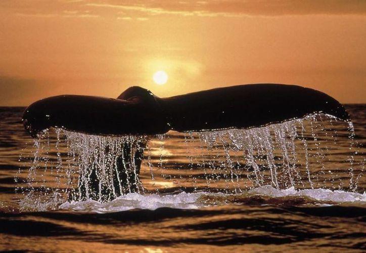 La temporada de avistamiento del tiburón ballena es del 15 de mayo al 15 de septiembre. (Foto de Contexto/Internet)