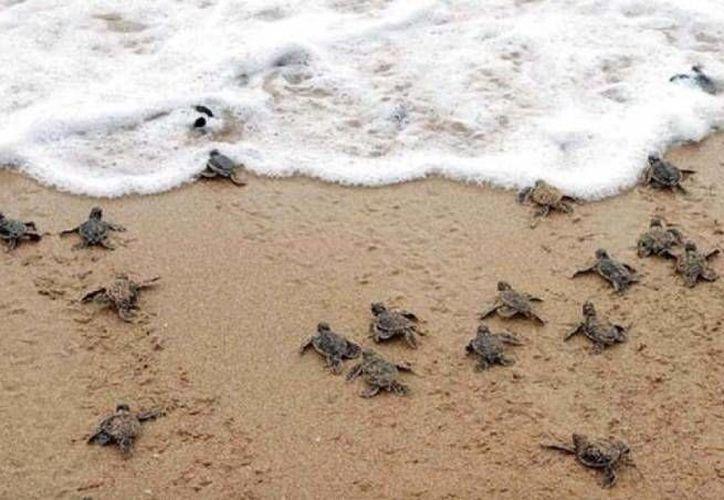 El monitoreo constante sobre tortugas en peligro de extinción ha disminuido en Yucatán, porque hay más supervisión además de que la sociedad ha colaborado más que antes en cuidarlas. (Milenio Novedades)