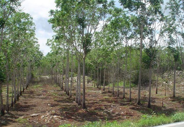 Pretenden que por cada casa que construyan sean colocados tres árboles. (Foto: Contexto/SIPSE)