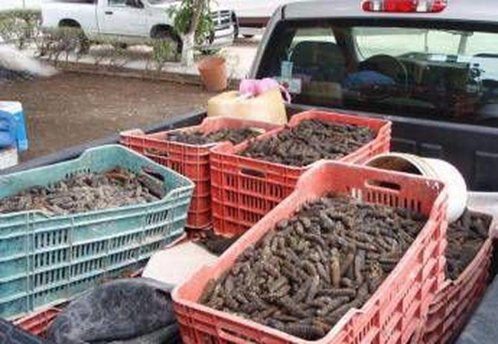 Muchas familias yucatecas viven de la pesca y venta del pepino de mar. (SIPSE)