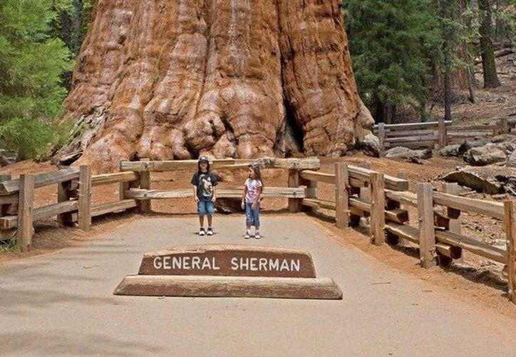 El 'General Sherman' (foto) sigue siendo el árbol más grande del mundo y está cerca de 'El Presidente'. (www.blogspot.com)