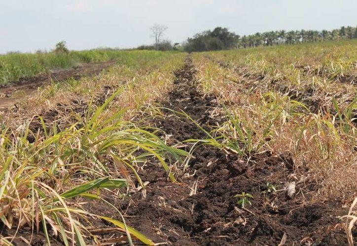 Han encontrado daños en el cultivo en un 15 por ciento de las cinco mil hectáreas. (Juan Rodríguez/ SIPSE)