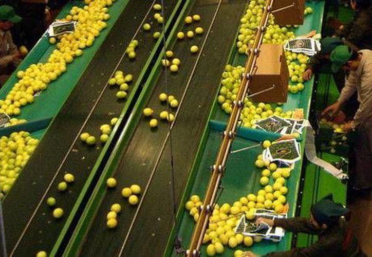 El limón tuvo una impresionante alza de precio del 44.8%. (Milenio)