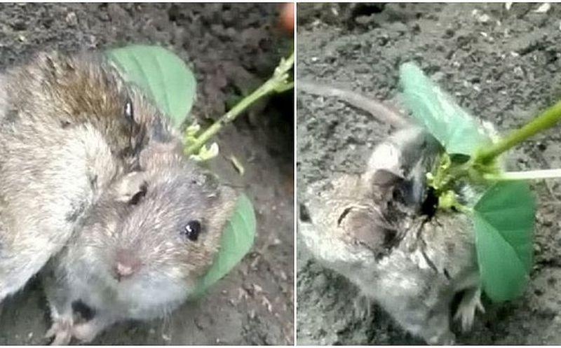 ¡Impresionante! A una rata le crece una planta en su espalda