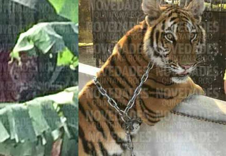 Hasta el momento la instrucción es disparar a matar a la tigresa en caso que se torne agresiva. (Archivo/ SIPSE)