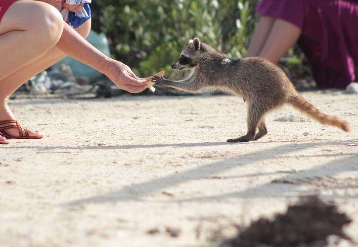 La Conanp busca evitar que los visitantes alimenten al mapache enano. (Gustavo Villegas/SIPSE)