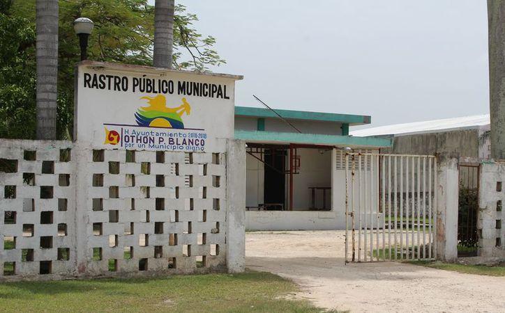 La mayor parte de los becerros para engorda que son enviados al norte del país, donde son engordados y exportados. (Carlos Castillo/SIPSE)