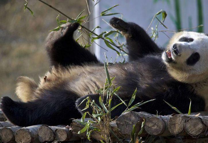 El panda gigante Ya Ya juega en un centro de recuperación en el condado de Foping, en la provincia china de Shaanxi. (Agencias)