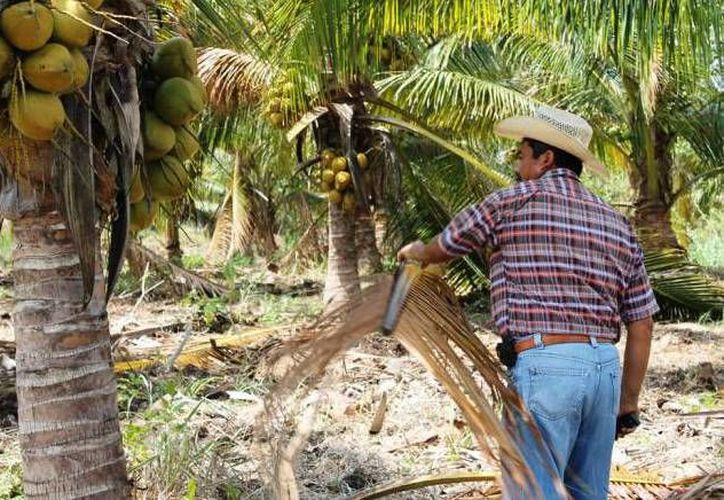 Además de matar a las palmeras endémicas, la plaga es capaz de transmitir enfermedades bacterianas. (Israel Leal/SIPSE)